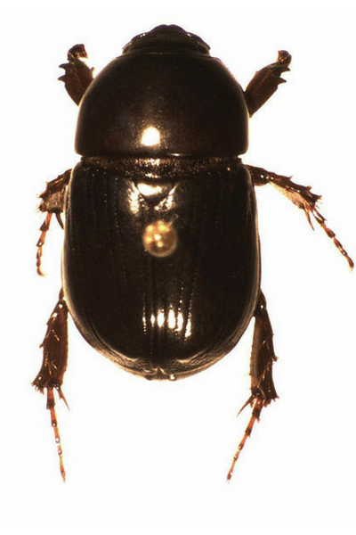 African Black Lawn Beetle