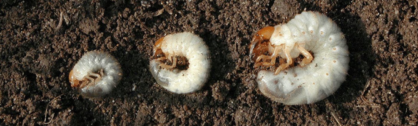 Stages of Lawn Grubs